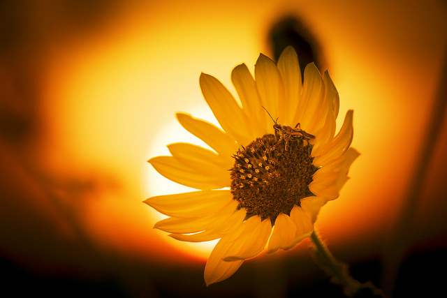 sunflower sunset drama by John Chandler