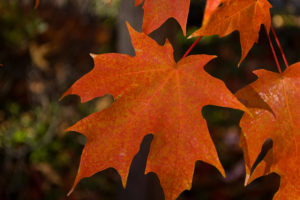 """""""Fall Leaves"""" by Rob Schillinger"""